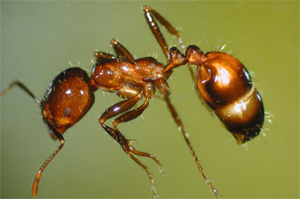fire-ant300